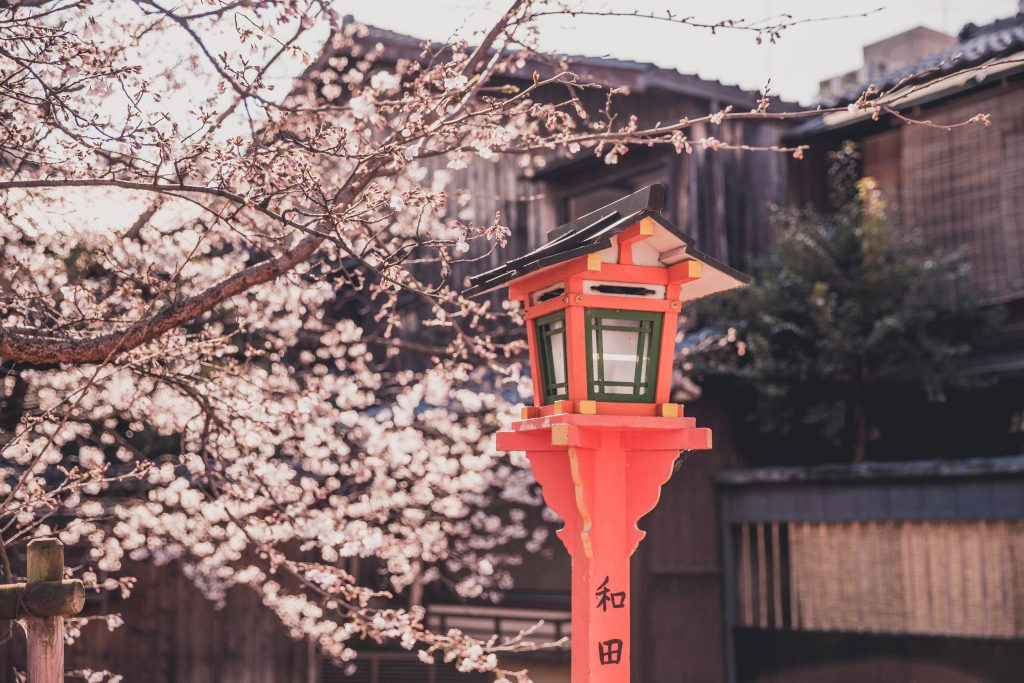 cherry blossom tree in the Gion area in Kyoto