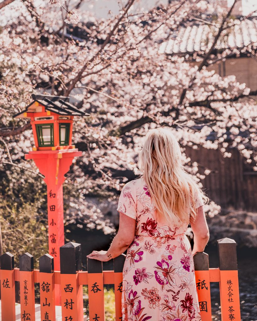 cherry blossom tree in Gion
