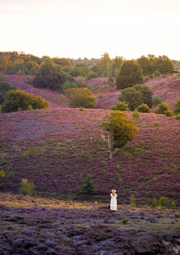 The Most Beautiful Heather Fields in The Netherlands – National Park Veluwezoom